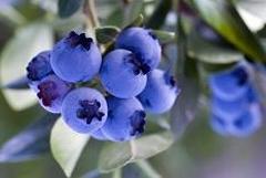 grape-de-bleuets