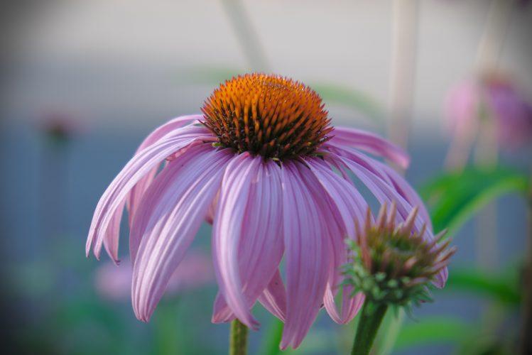 Échinacée (echinacea purpurea)