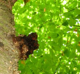 Le chaga est un champignon mortel pour le bouleau